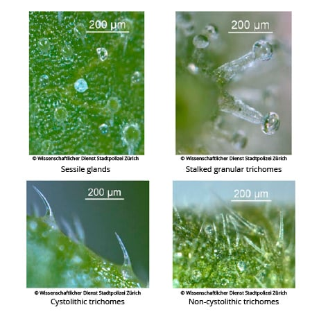 Microscopic-view-of-glandular-(upper-two)-and-non-glandular-(down-two)-trichomes